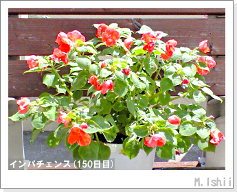 花のペット栽培(インパチェンス)39