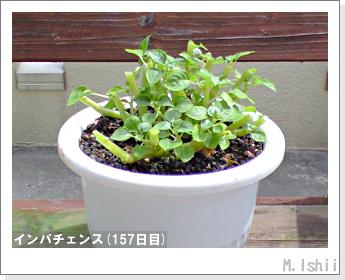 花のペット栽培(インパチェンス)40