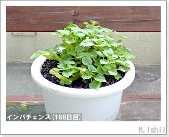 花のペット栽培(インパチェンス)41