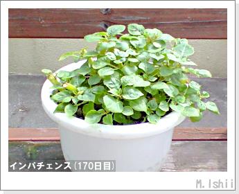 花のペット栽培(インパチェンス)42