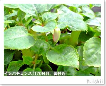 花のペット栽培(インパチェンス)43