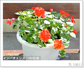 花のペット栽培(インパチェンス)45