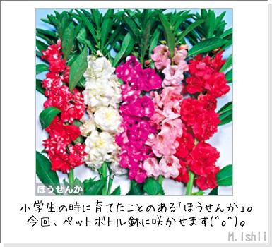 花のペット栽培II(ほうせんか)02