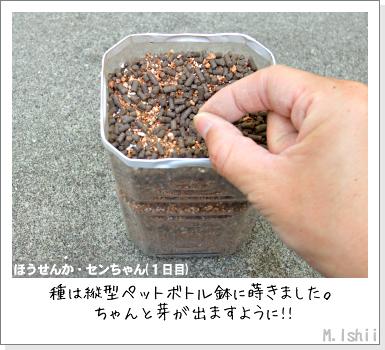花のペット栽培II(ほうせんか)05