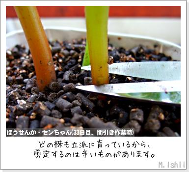 花のペット栽培II(ほうせんか)12