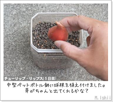 花のペット栽培II(チューリップ)05