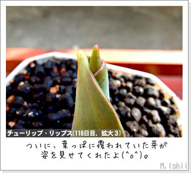 花のペット栽培II(チューリップ)12