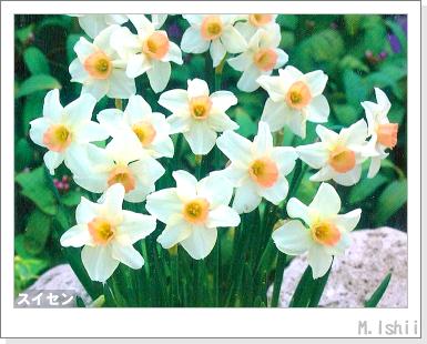 花のペット栽培II(スイセン)02