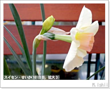 花のペット栽培II(スイセン)26