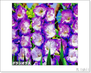 花のペット栽培II(グラジオラス)01