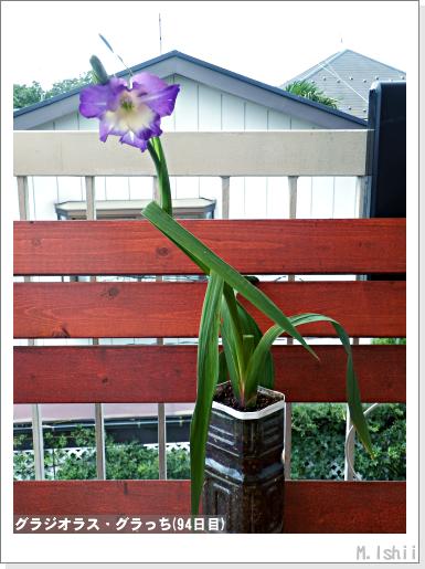花のペット栽培II(グラジオラス)16