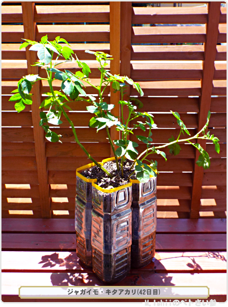 ジャガイモの試験栽培28