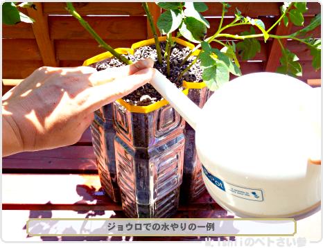 ジャガイモの試験栽培30
