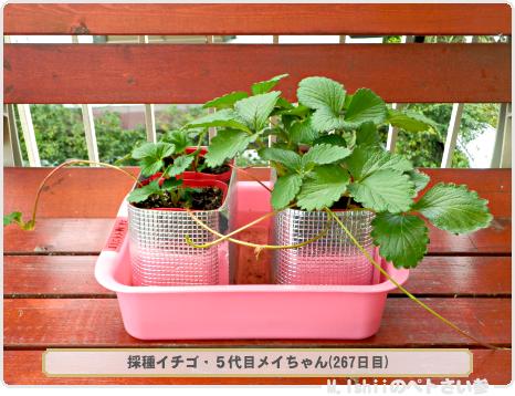 ペトさい(採種イチゴ・改)115