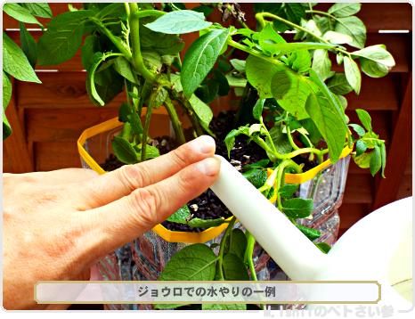 ジャガイモの試験栽培38