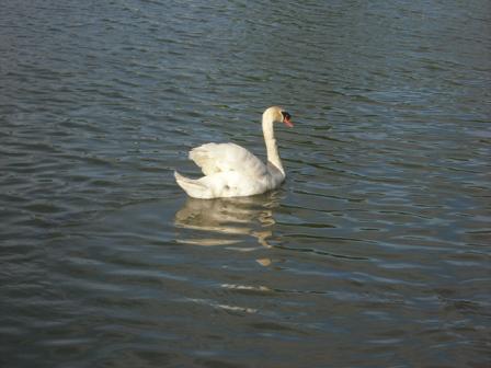 4 白鳥がのどかに泳いでいる