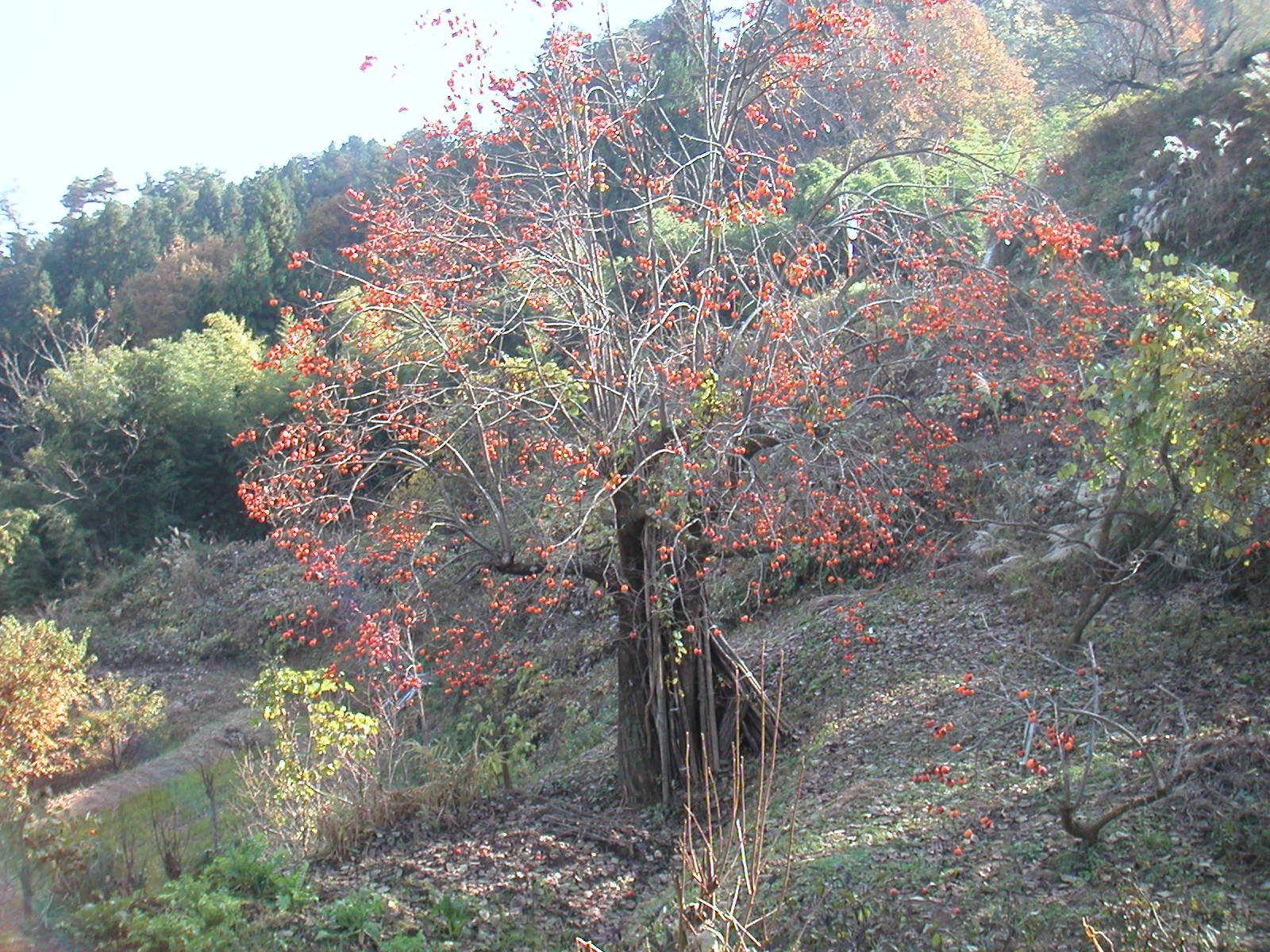 柿の大木1