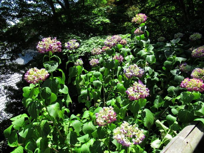 170617紫陽花 (4)