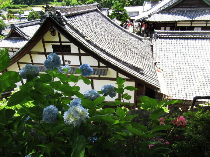 170617紫陽花 (2)