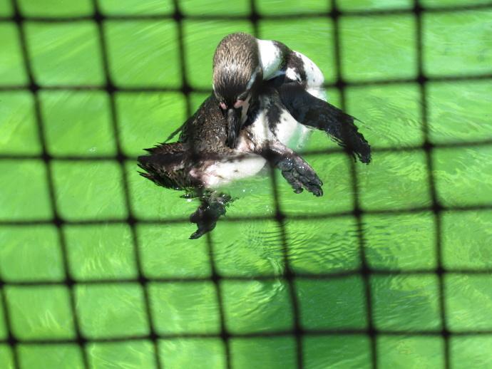 170622ペンギン (2)