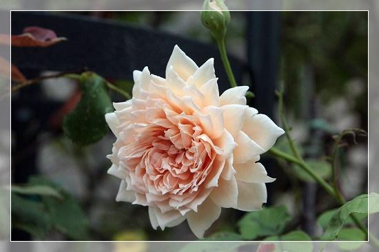 s-170805クラウン・プリンセス・マルガリータIMG_1023