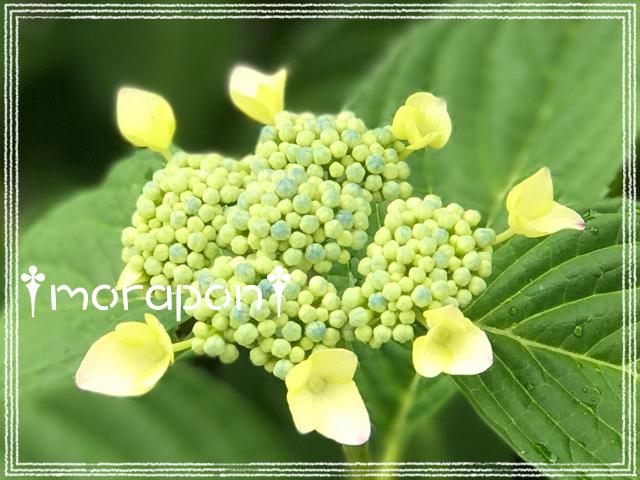 170601 紫陽花-1