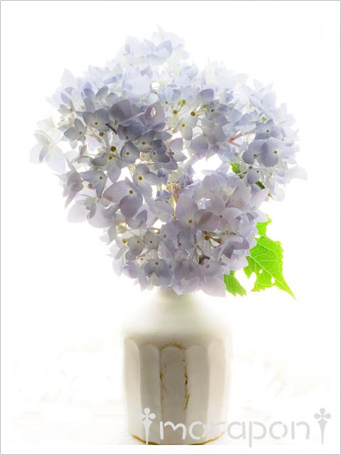 170629 紫陽花-1