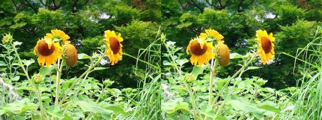 道脇の向日葵(平行法)