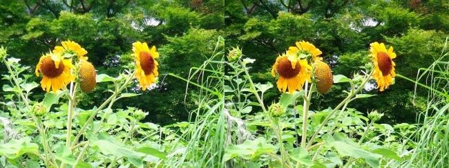 道脇の向日葵(交差法)