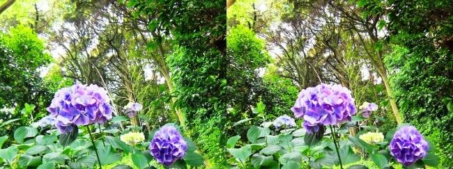 矢田寺 紫陽花⑱(交差法)