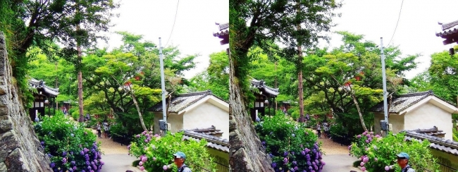 矢田寺 紫陽花⑰(交差法)