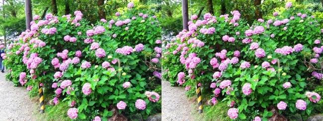 矢田寺 紫陽花⑮(交差法)