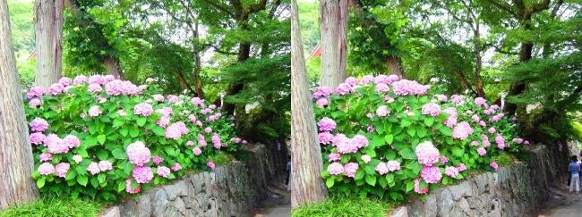 矢田寺 紫陽花⑭(交差法)