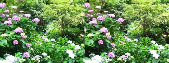 矢田寺 紫陽花⑫(交差法)
