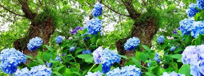矢田寺 紫陽花⑩(平行法)