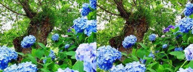 矢田寺 紫陽花⑩(交差法)
