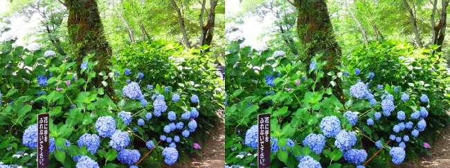 矢田寺 紫陽花⑨(平行法)