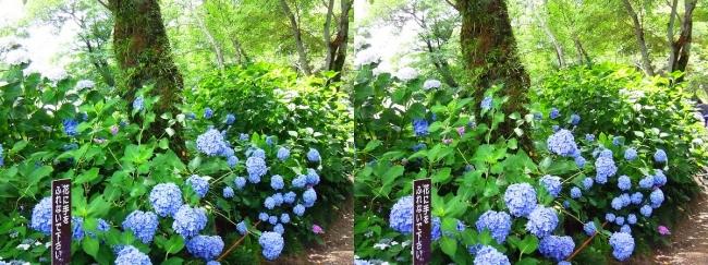 矢田寺 紫陽花⑨(交差法)