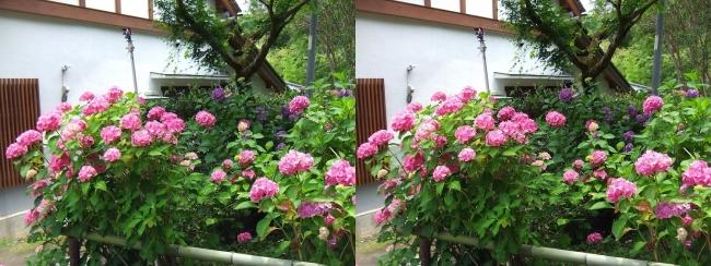 矢田寺 紫陽花⑦(交差法)