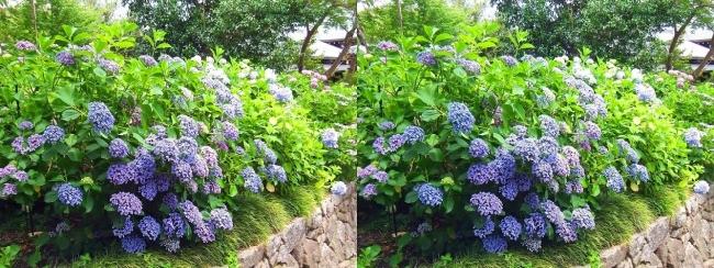 矢田寺 紫陽花②(平行法)