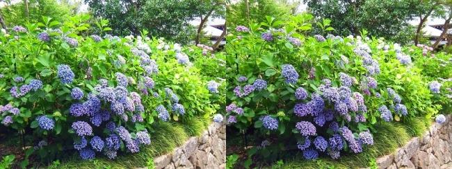 矢田寺 紫陽花②(交差法)