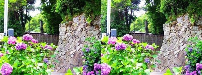 矢田寺 紫陽花⑯(平行法)