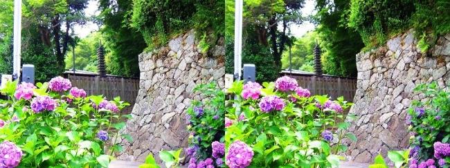 矢田寺 紫陽花⑯(交差法)