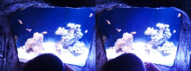 京都水族館 さんご礁のいきもの クマノミの洞窟④(平行法)