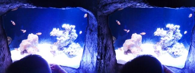 京都水族館 さんご礁のいきもの クマノミの洞窟④(交差法)