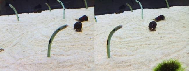京都水族館 チンアナゴ①(平行法)