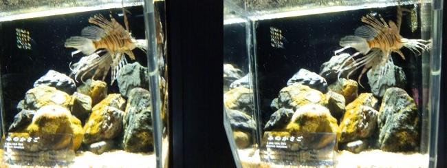 京都水族館 みのかさご(交差法)