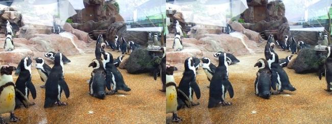 京都水族館 ペンギン⑤(平行法)