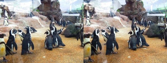 京都水族館 ペンギン⑤(交差法)