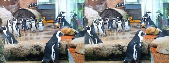 京都水族館 ペンギン④(平行法)